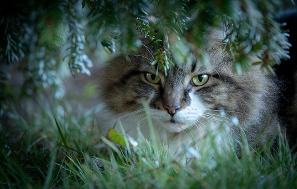 Picture cat, grass, cat, look, branches, muzzle, cat