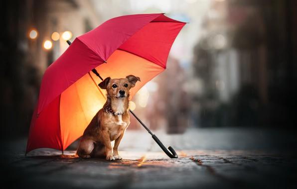 Picture street, dog, umbrella
