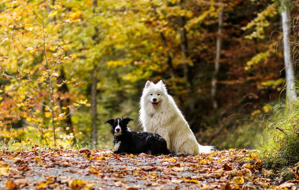 Picture autumn, forest, dogs, leaves, nature, two, pair, a couple, Duo, friends, two dogs, the border …