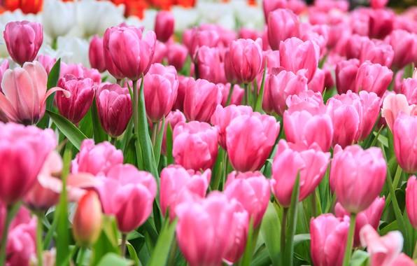 Picture field, flowers, tulips, pink, field, pink, tulips, flowrs