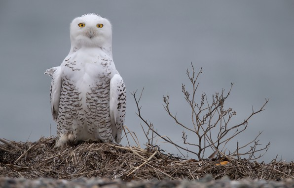 Picture branches, background, owl, bird, Snowy owl