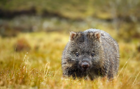 Picture summer, nature, wombat