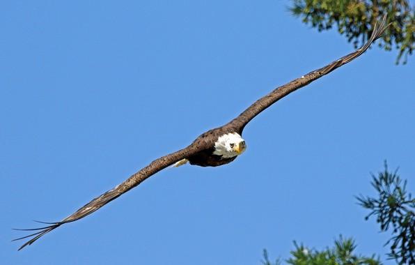 Picture bird, flight, bald eagle