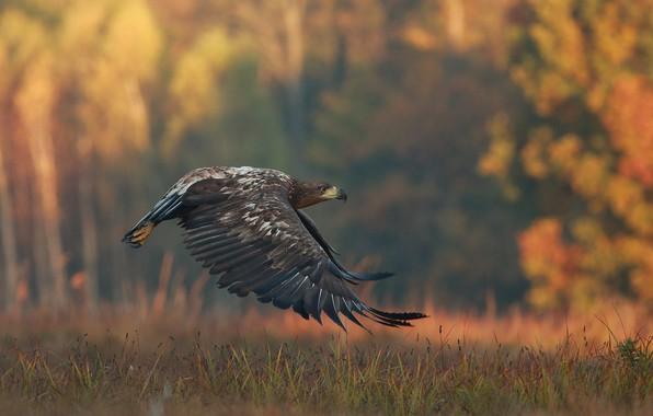 Picture autumn, grass, nature, bird, predator, flight, eagle, Lukasz Sokol