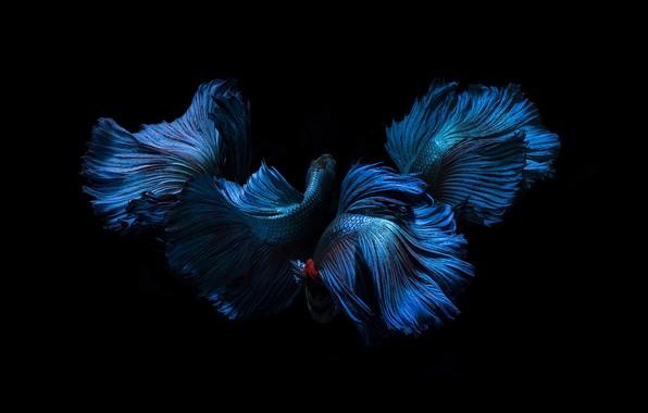 Picture blue, color, fish, black background, fins, tails