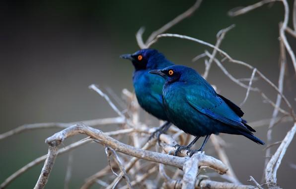 Picture birds, nature, Krasnolesy shiny Starling