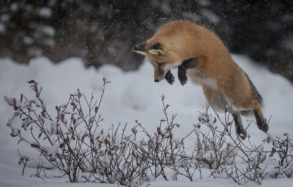 Picture winter, snow, branches, jump, Fox, hunting, red, the bushes