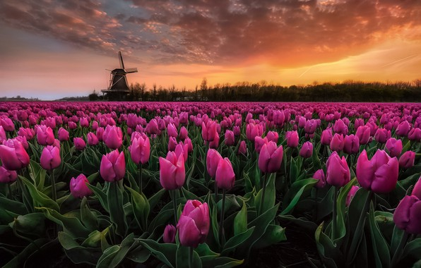 Picture field, the sky, dawn, paint, Spring, morning, tulips, Netherlands, early in the morning