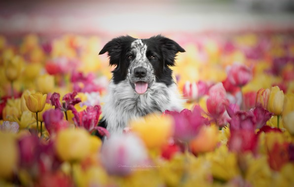 Picture face, flowers, dog, tulips