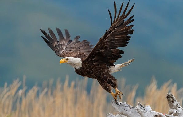 Picture bird, wings, snag, stroke, the rise, bokeh, Bald eagle