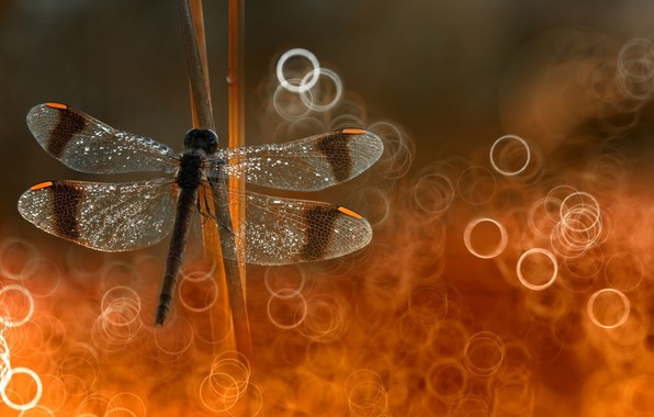 Picture focus, dragonfly, put on reeds