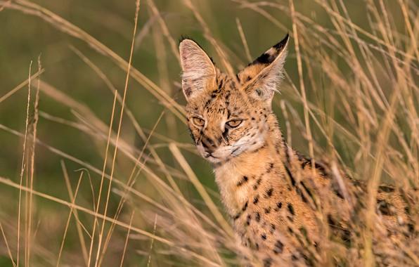 Picture grass, wild cat, Serval, Кустарниковая кошка
