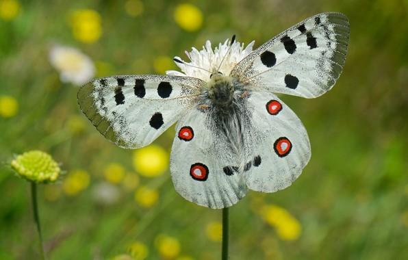 Picture flower, macro, butterfly, wings, bokeh, Apollo