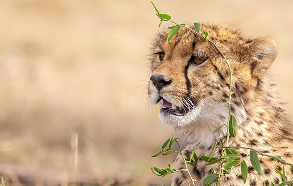 Picture face, background, Cheetah, wild cat