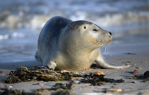Picture sea, nature, smile, shore, seal, cub, pinnipeds