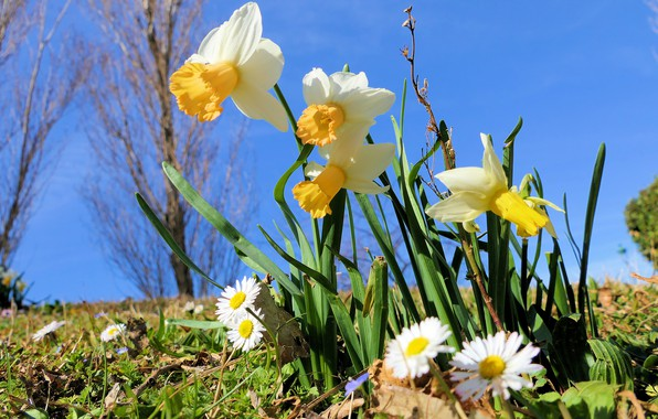 Picture flowers, glade, chamomile, spring, white, daffodils, blue sky, Daisy