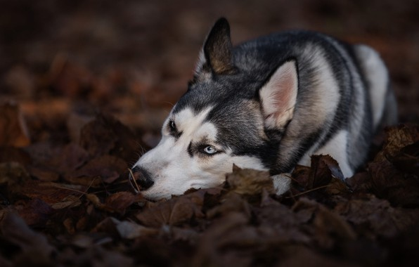 Picture autumn, leaves, nature, pose, background, foliage, dog, lies, blue eyes, husky