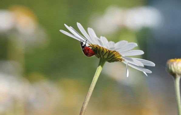 Picture flower, summer, macro, background, ladybug, beetle, petals, Daisy, insect, bokeh, blurred