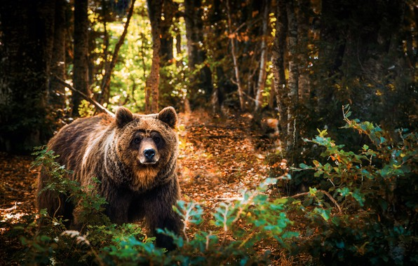 Picture forest, trees, branches, nature, animal, predator, bear, the bushes, brown, Adnan Bubalo