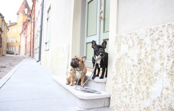 Picture dogs, street, walk, a couple, French bulldogs, leashes