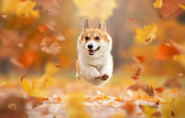 Picture autumn, leaves, mood, jump, dog, flight, walk, bokeh, doggie, Welsh Corgi, Svetlana Pisareva