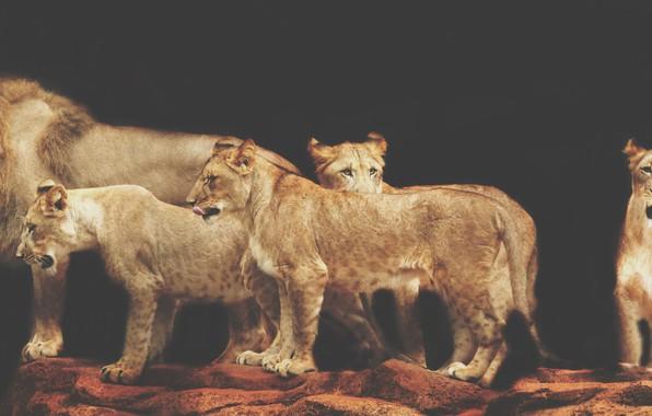 Picture animals, lions, pride