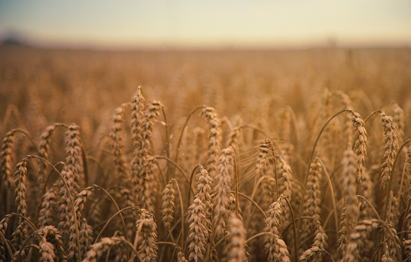 Picture Nature, Field, Farm, Wheat, Spikelets, Field, Farm, Wheat, Harvest, Crop, Grains, Depth Of Field, Spike, ...