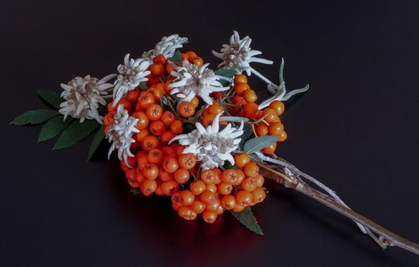 Picture macro, berries, background, branch, Rowan