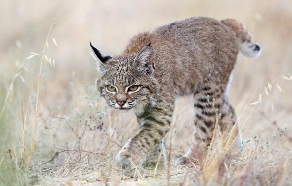 Picture grass, cub, kitty, lynx, wild cat