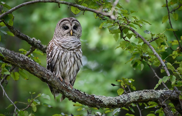 Picture branches, tree, owl, bird, bokeh, A barred owl