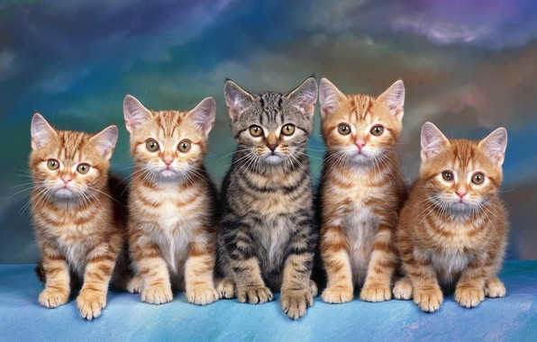 Picture look, cats, blue, kitty, grey, background, blue, paw, kittens, team, kitty, kids, red, company, striped, …