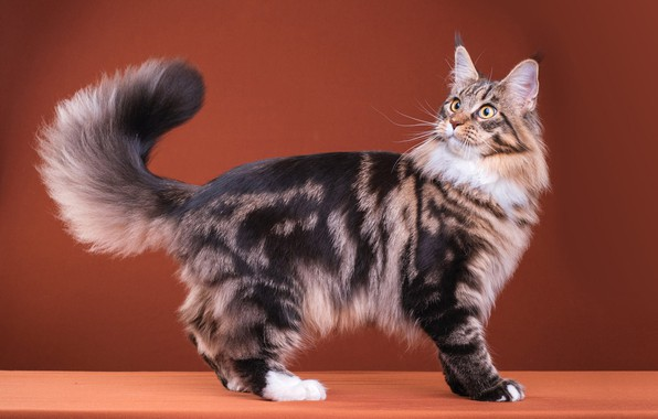 Picture cat, cat, look, pose, grey, surprise, fluffy, muzzle, tail, cute, color, is, striped, breed, brown ...