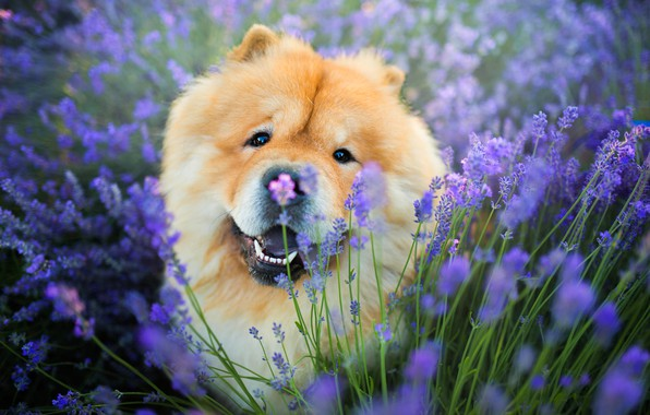 Picture field, language, look, face, flowers, pose, portrait, dog, red, sitting, lavender, adorable, lilac background, Chow, …