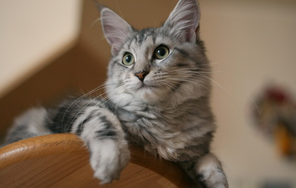 Picture cat, cat, look, muzzle, cat, Maine Coon
