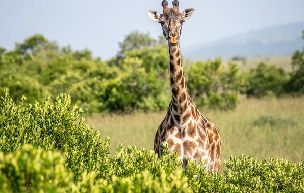 Picture giraffe, the bushes, neck