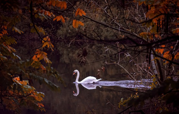 Wallpaper autumn, branches, river, bird, Swan