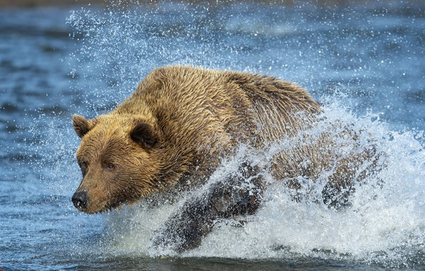 Picture river, bear, beast