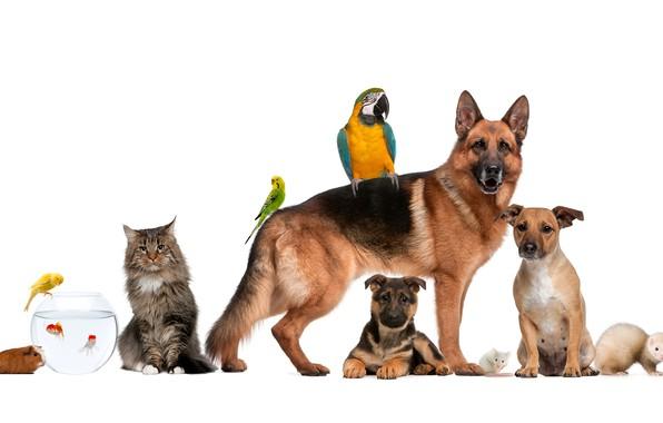 Picture dogs, cat, fish, parrot, Guinea pig, shepherd, ferret