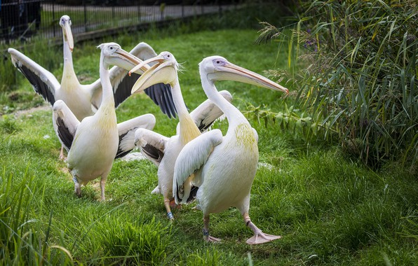 Picture birds, group, weed, pelicans