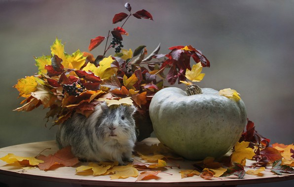Picture sadness, autumn, animals, leaves, Guinea pig