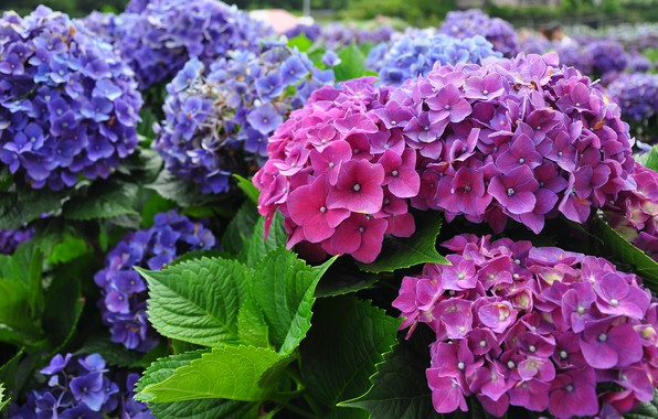 Picture summer, leaves, flowers, garden, pink, flowering, the bushes, a lot, lilac, hydrangea