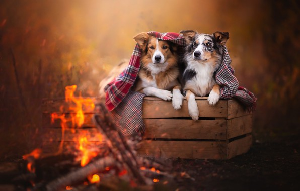 Picture autumn, dogs, look, nature, pose, comfort, heat, background, mood, fire, together, two, beauty, paws, blanket, …