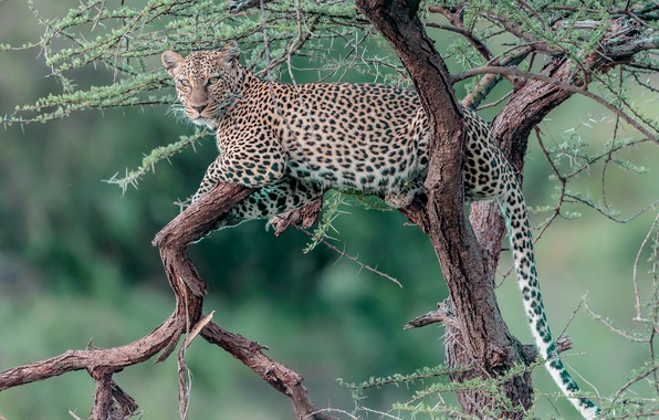 Picture tree, stay, leopard, wild cat, on the tree