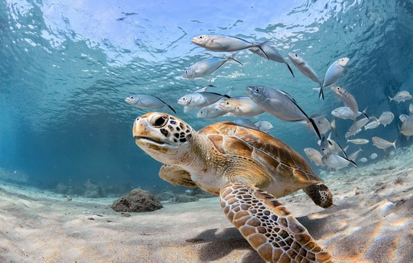 Picture sea, fish, the ocean, turtle, under water