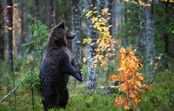 Picture autumn, forest, bear, stand, the Bruins