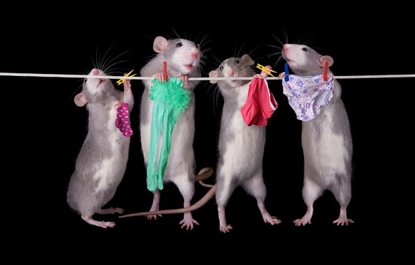 Picture pose, linen, rope, panties, rats, socks, tights, briefs, black background, mouse, lower, clothespins, Quartet, wash, …