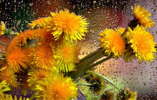 Picture drops, rain, bouquet, Dandelions