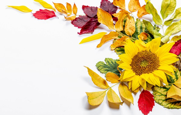 Picture autumn, leaves, branches, sunflower, postcard, template, blank