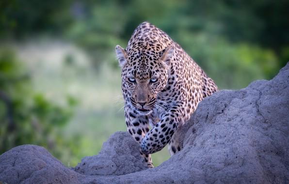 Picture look, predator, leopard, wild cat, bokeh