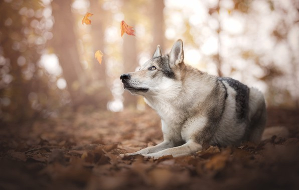 Picture autumn, forest, look, face, leaves, light, nature, pose, Park, background, mood, foliage, wolf, dog, paws, …